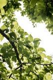 Árbol de Appele Fotos de archivo