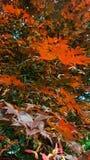 Árbol de arce Fotos de archivo libres de regalías