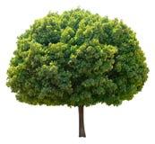 Árbol de arce. foto de archivo