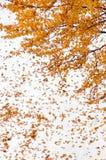 Árbol de arce Imagen de archivo libre de regalías