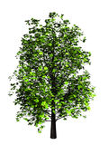 Árbol de arce Fotos de archivo
