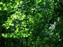 Árbol de arce Fotografía de archivo libre de regalías
