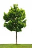 Árbol de arce aislado Imagen de archivo libre de regalías