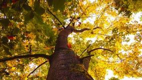 Árbol de arce alto de la caída imagen de archivo libre de regalías