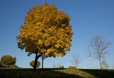Árbol de arce amarillo en la caída Foto de archivo libre de regalías