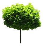 Árbol de arce; Camino de recortes incluido imagen de archivo libre de regalías
