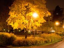 Árbol de arce colorido en la noche Foto de archivo libre de regalías