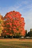 Árbol de arce colorido grande bajo el cielo azul Fotografía de archivo