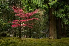 Árbol de arce colorido y cedros gigantes en un jardín japonés Fotos de archivo libres de regalías