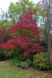 Árbol de arce con colores del otoño Fotografía de archivo