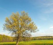 Árbol de arce de azúcar Imágenes de archivo libres de regalías
