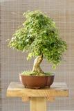 Árbol de arce de los bonsais fotografía de archivo libre de regalías