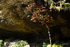 Árbol de arce debajo de la cascada Foto de archivo libre de regalías