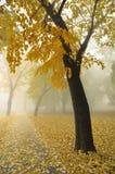 Árbol de arce del otoño Fotos de archivo libres de regalías
