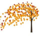 Árbol de arce del otoño en el viento Imágenes de archivo libres de regalías