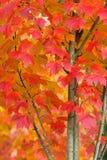 Árbol de arce en Autumn Closeup Fotos de archivo