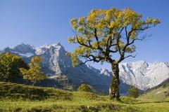 Árbol de arce en otoño Foto de archivo