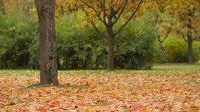 Árbol de arce en otoño, cacerola almacen de metraje de vídeo