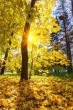 Árbol de arce en parque soleado del otoño Fotos de archivo libres de regalías