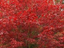Árbol de arce hermoso en otoño fotografía de archivo