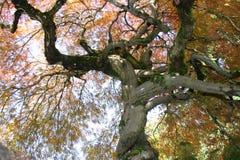 Árbol de arce japonés imagen de archivo