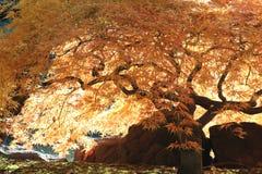 Árbol de arce japonés Foto de archivo