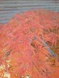 Árbol de arce japonés rojo fotografía de archivo libre de regalías