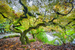 Árbol de arce japonés verde Imagen de archivo