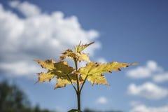 Árbol de arce joven en fondo del cielo azul imagen de archivo