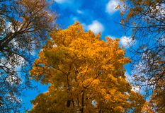 Árbol de arce de oro en un fondo azul del cielo del otoño imágenes de archivo libres de regalías