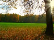 Árbol de arce que brilla intensamente de oro en otoño Imagen de archivo