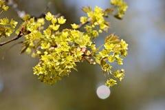 Árbol de arce que florece con las porciones de flores en primavera Fotos de archivo libres de regalías