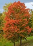 Árbol de arce rojo Imágenes de archivo libres de regalías