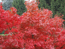 Árbol de arce rojo Imagen de archivo libre de regalías