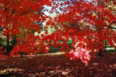 Árbol de arce rojo Fotos de archivo libres de regalías