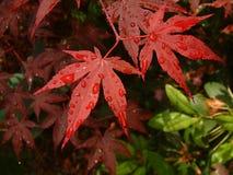 Árbol de arce rojo asiático de la hoja Imagenes de archivo