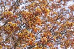 Árbol de arce rojo con las hojas jovenes fotos de archivo