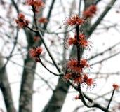 Árbol de arce rojo en la floración Fotografía de archivo