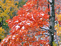 Árbol de arce rojo en nieve Fotos de archivo