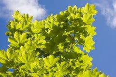 Árbol de arce verde contra el cielo azul imagen de archivo