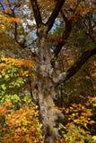 Árbol de arce viejo con las hojas que exhiben la coloración del otoño imagenes de archivo