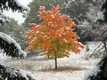 Árbol de arce y nieve que cae en Minnesota Fotos de archivo libres de regalías