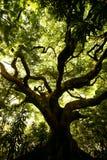 Árbol de arrastre Imágenes de archivo libres de regalías