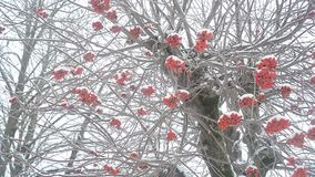 Árbol de Ashberry en invierno almacen de metraje de vídeo