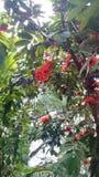 Árbol de Asoka Fotografía de archivo libre de regalías