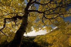 Árbol de Aspen Imagen de archivo