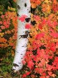 Árbol de Aspen del otoño Foto de archivo
