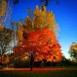 Árbol de Automn Fotos de archivo libres de regalías