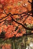 Árbol de Autumn Maple del japonés del paisaje Fotografía de archivo libre de regalías