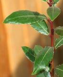 Árbol de bahía joven del laurel Fotos de archivo libres de regalías